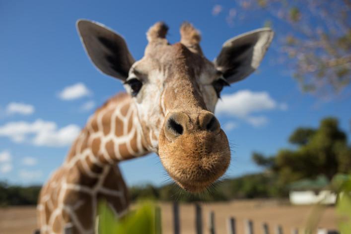 image web girafe